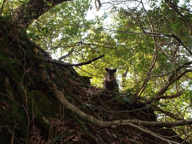 岩屋の御神木にいたカモシカ