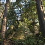 岩屋稲荷神社・巨岩上の御神木