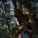 岩屋の大杉